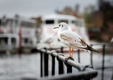 An urban black-headed gull in its first winter plumage, on the lookout for scraps of food, alongside the river dee royalty free stock photography
