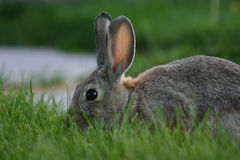 Urban Bunny In Lawn Stock Photography