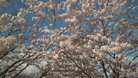 Urban Cherry Blossoms dolly shot 4K UHD. A camera dolly shot of cherry blossoms in Spring. 4K. UHD stock footage