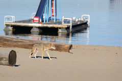 Urban Coyote Vancouver. A coyote roams a beach in downtown Vancouver. British Columbia, Canada Stock Photo