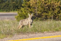 Urban Coyote. A coyote waits to cross an urban road Royalty Free Stock Image
