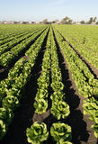 Urban Crop Field Perfect Green Produce Leaf Lettuce Royalty Free Stock Image