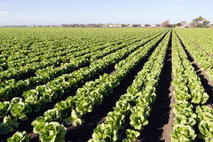 Urban Crop Field Perfect Green Produce Leaf Lettuce Royalty Free Stock Images