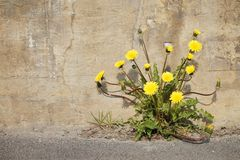 Urban Dandelions Stock Photo