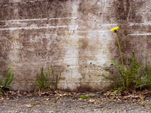 Urban decay detail - dandelion by concrete wall Royalty Free Stock Photos