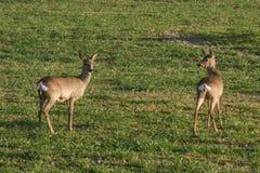 Urban deer Stock Photos