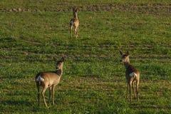 Urban deer Royalty Free Stock Photography