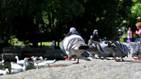 Urban doves love. On the park stock video