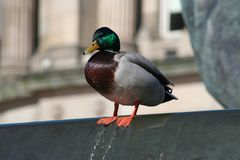 Urban duck on the edge in Birmingham Stock Photo
