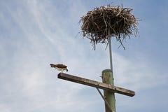 Urban Eagle. The eagles nest on a local city light pole stock photos
