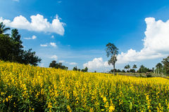 Urban fields  in Thailand and Crotalaria juncea. Urban fields in Thailand  with blue  sky Royalty Free Stock Photo