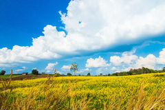 Urban fields  in Thailand and Crotalaria juncea. Urban fields in Thailand  with blue  sky Royalty Free Stock Image