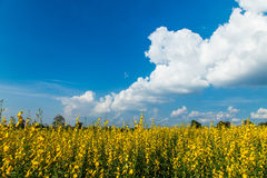 Urban fields  in Thailand and Crotalaria juncea. Urban fields in Thailand  with blue  sky Stock Images