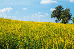 Urban fields  in Thailand and Crotalaria juncea. Urban fields in Thailand  with blue  sky Stock Image