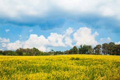 Urban fields  in Thailand and Crotalaria juncea. Urban fields in Thailand  with blue  sky Royalty Free Stock Photos