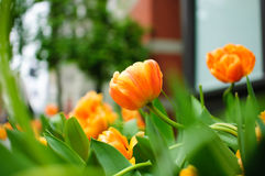 Urban Flowers. Flower bed of orange tulips in an urban balcony Royalty Free Stock Images