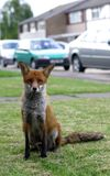 Urban Fox. Very tame urban fox. The countryside comes to town Royalty Free Stock Images
