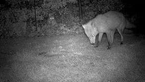 Urban fox with cat watching. Urban fox with cat watching in house garden at night stock footage