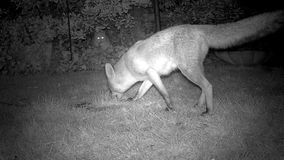 Urban fox with cat watching. Urban fox with cat watching in house garden at night stock video footage