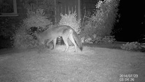 Urban fox in garden at night with infra red camera. stock video footage