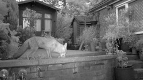 Urban fox in house garden. Urban fox in house garden infra red camera stock video