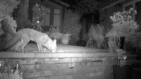 Urban fox in house garden. Urban fox in house garden infra red camera stock footage