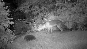 Urban fox in house garden at night feeding with Hedgehog. Urban fox in house garden at night feeding with Hedgehog in infra red stock video