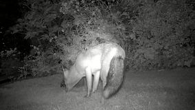 Urban fox in house garden at night feeding with Hedgehog. Urban fox in house garden at night feeding with Hedgehog with infra red camera stock video footage