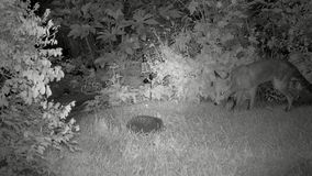 Urban fox in house garden at night feeding with Hedgehog. Urban fox in house garden at night feeding with Hedgehog with infra red camera stock footage