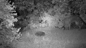 Urban fox in house garden at night with Hedgehog.. stock video footage