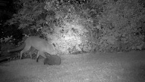Urban fox in house garden at night with Hedgehog.. Urban fox in house garden at night with Hedgehog in infra red stock video footage