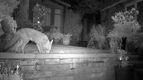 Urban fox in house garden at night with Hedgehog.. Urban fox in house garden at night using infra red camera with Hedgehog stock video footage
