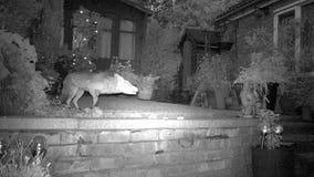 Urban fox in house garden at night. stock video footage