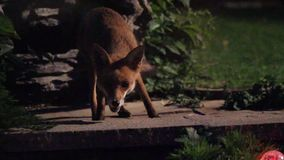 Urban fox inn house garden. Urban fox in house garden  at night with high ISO sensitivity stock video footage