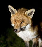 Urban fox at night. Stock Photos