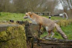 Urban fox Royalty Free Stock Image