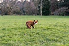 Urban fox Vulpes vulpes on grass in park in daylight Stock Image