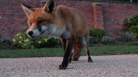 Urban fox Vulpes vulpes limping in park in daylight stock video footage