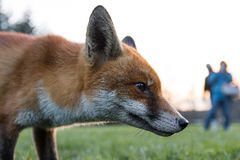 Urban fox Vulpes vulpes in park in daylight, with person Royalty Free Stock Photo
