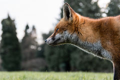 Urban fox Vulpes vulpes in park in daylight, in profile Royalty Free Stock Photos