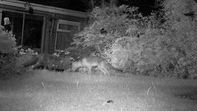 Urban foxes in house garden at night feeding. Urban foxes in house garden at night feeding with Hedgehog in infra red stock footage