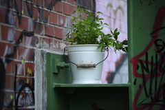 Urban Gardening. fresh lovage herb Royalty Free Stock Image