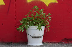 Urban Gardening. fresh lovage herb Stock Image