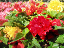 Urban gardening. The greening of cities. A yellow and red blooming begonias in the flower bed. Autumn flowers. Royalty Free Stock Photography