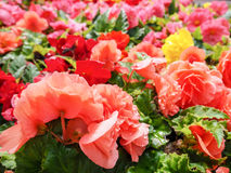 Urban gardening. The greening of cities. A yellow and red blooming begonias in the flower bed. Autumn flowers. Royalty Free Stock Images
