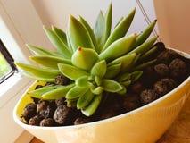Urban gardening. Suculents in pots. Indoor gardening royalty free stock image