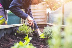 Free Urban Gardening: Woman Is Planting Fresh Vegetables And Herbs On Fruitful Soil In The Own Garden, Raised Bed Royalty Free Stock Photos - 175629218