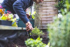 Free Urban Gardening: Woman Is Planting Fresh Vegetables And Herbs On Fruitful Soil In The Own Garden, Raised Bed Stock Images - 175629584