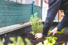Free Urban Gardening: Woman Is Planting Fresh Vegetables And Herbs On Fruitful Soil In The Own Garden, Raised Bed. Rosmary Stock Photos - 175628993