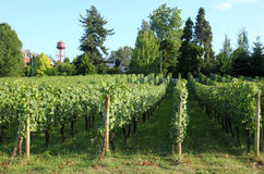 Urban grape orchard, Troutdale OR. Royalty Free Stock Photos